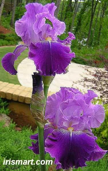 Grape Parfait Tall Bearded Iris Iris Flowers Iris Garden Bearded Iris