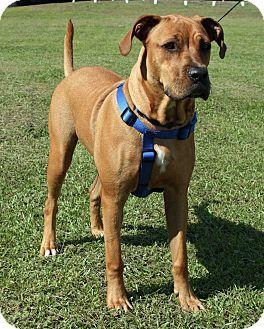 Newport, NC Boxer/Labrador Retriever Mix. Meet CeeDee, a
