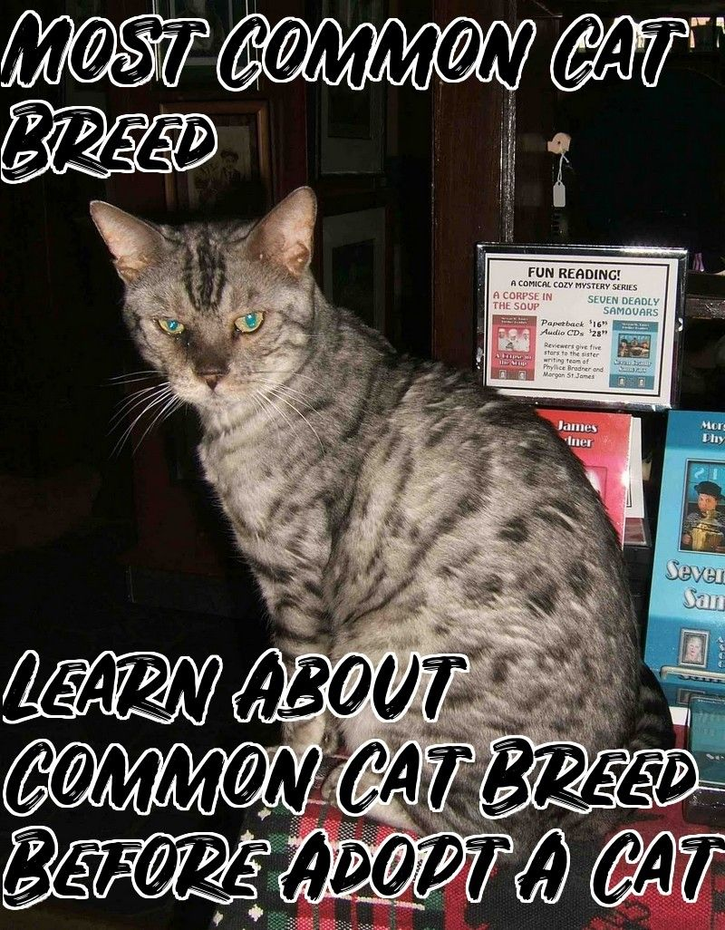 The Most Common Cat Breeds Cat Breeds Common Cat Breeds Cats