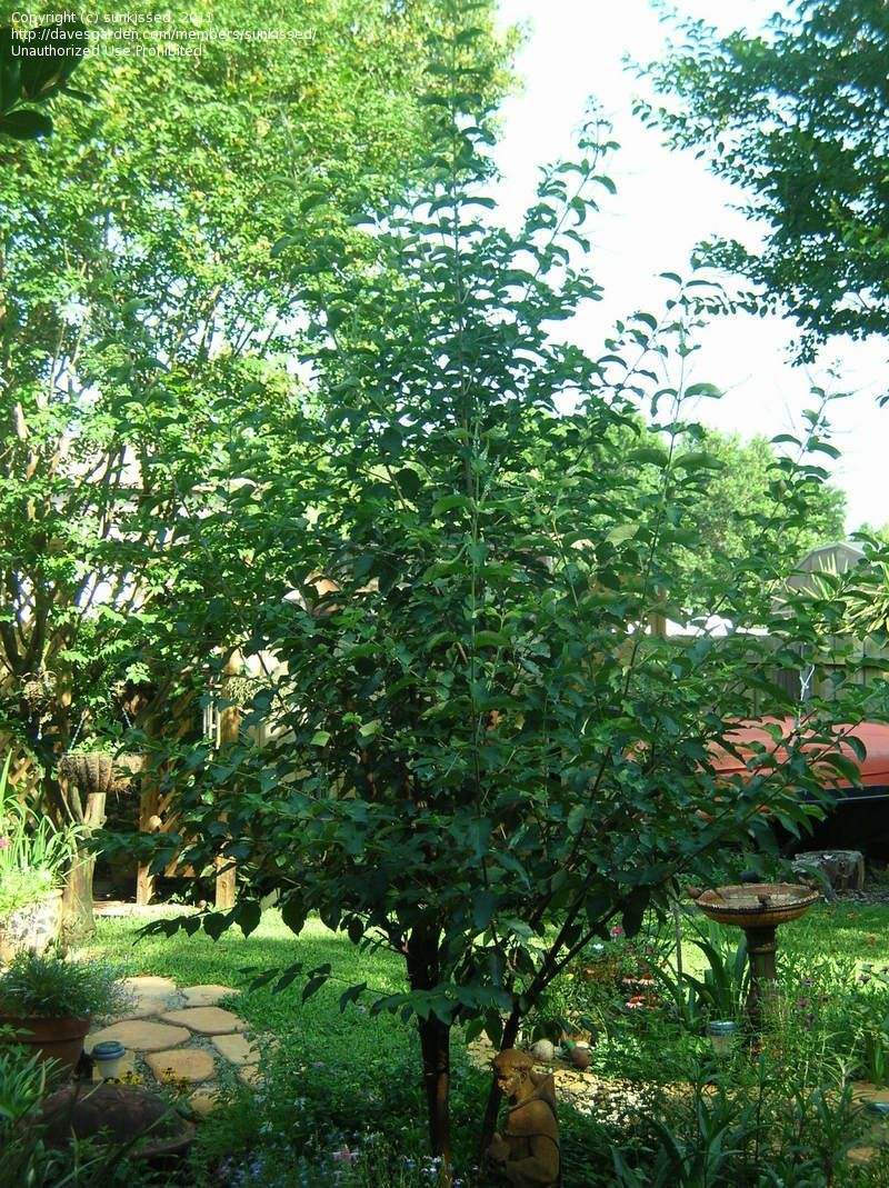 Checked Off My Plant Wish List: Trained As A Tree: Sweet Almond Bush,  Incense Bush Aloysia Virgata (From Driftwood Garden Center)