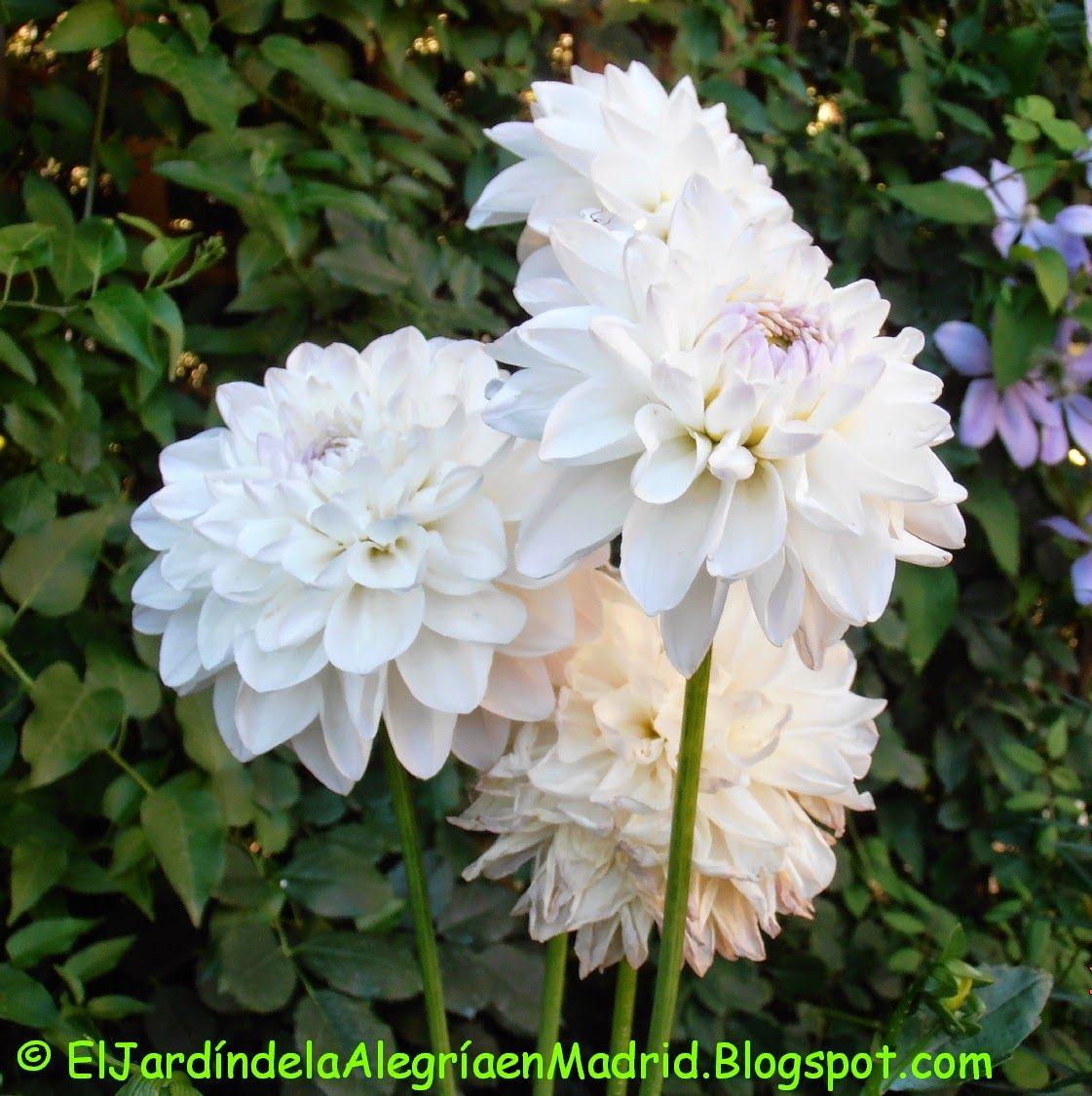 El Jardin De La Alegria Plantar Y Dividir Dalias Dahlia Flores