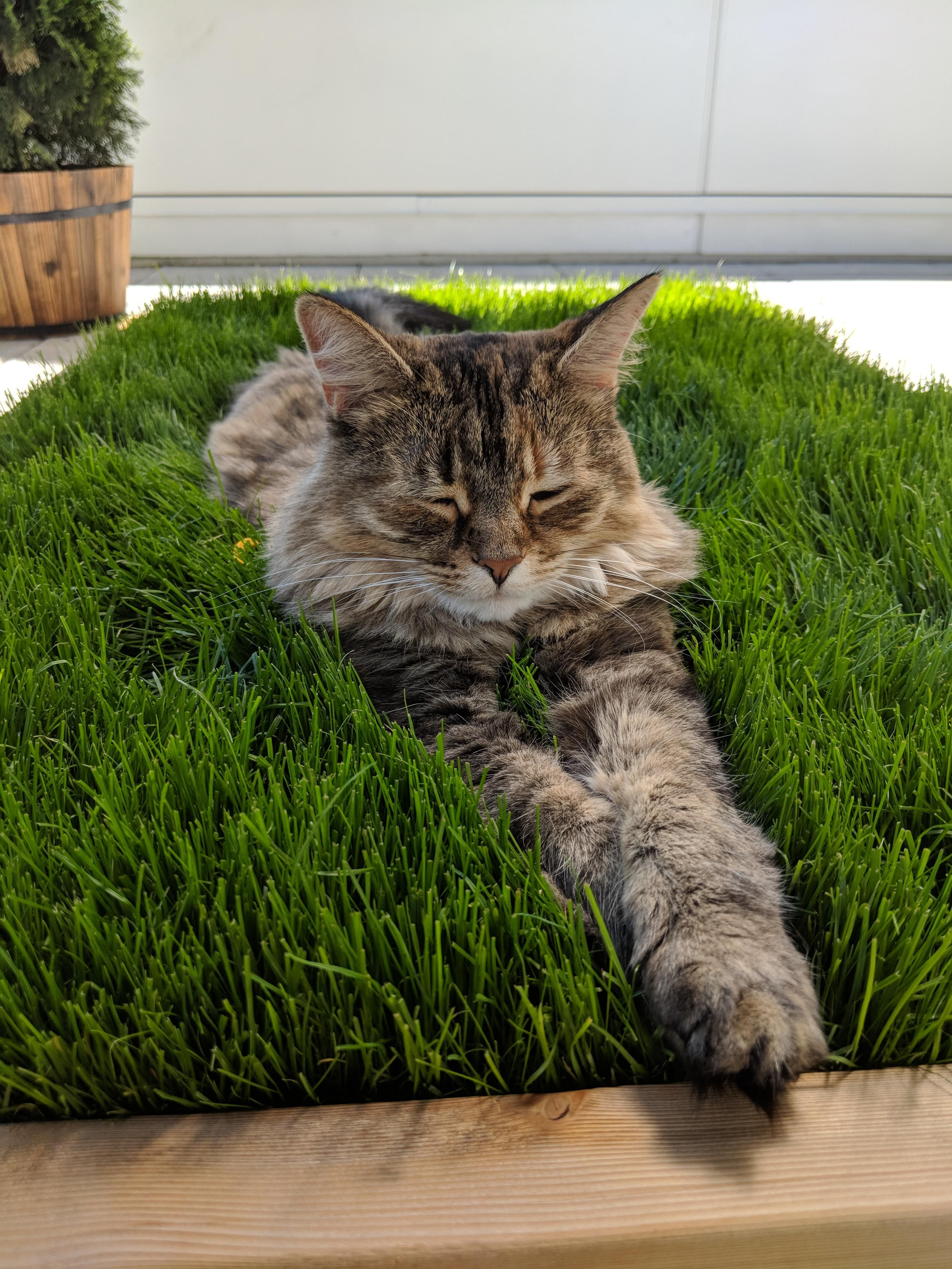 Lounging In Her Grass Patch Cats Cat Garden Cat Playground