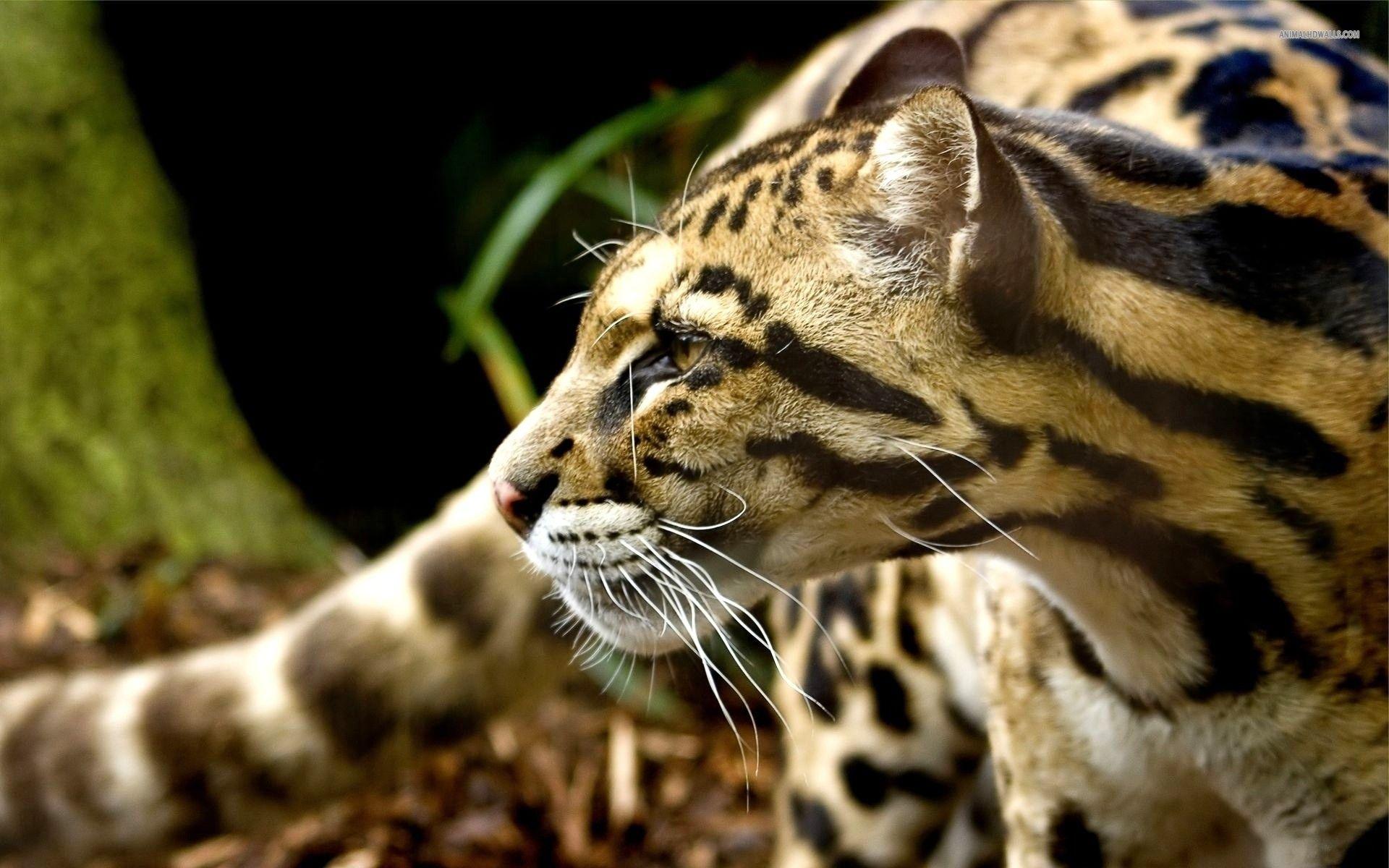 Ferocious Leopard Animals Teeth 853 1920X1200 (1920 1200) - Woodburning Pyrography And Designs 2 -