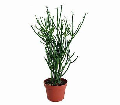Bleistiftbaum