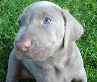 Weimaraners If I Were A Dog This Would Be Me Big Blue Eyes