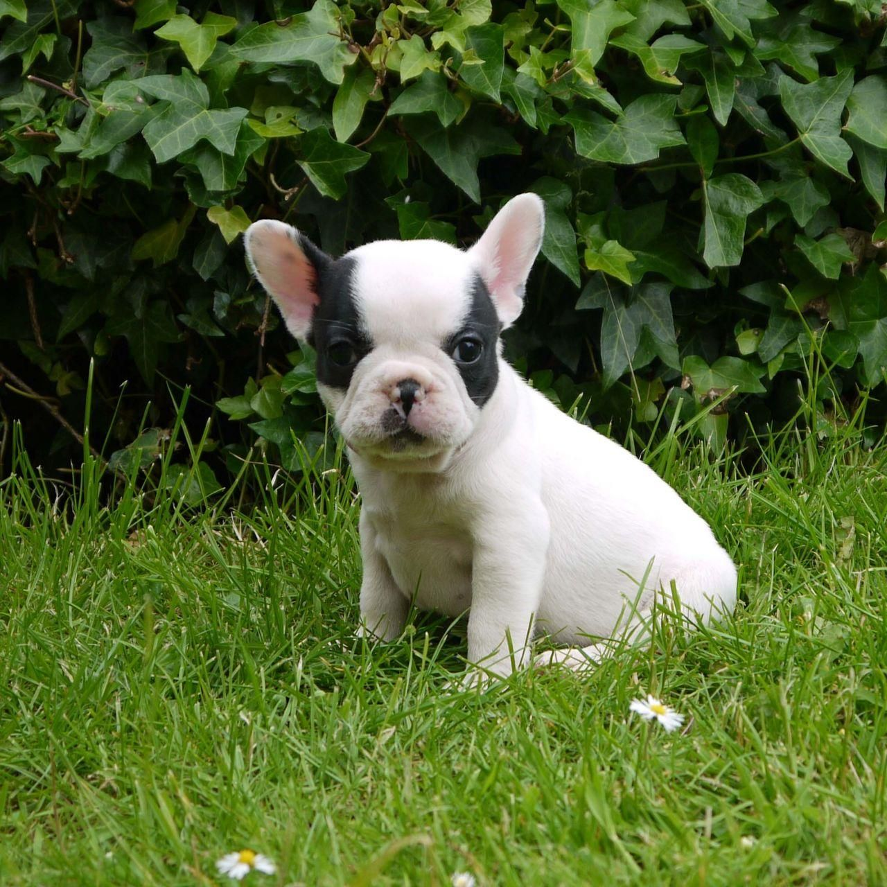good and caring French Bulldog Puppies For adoption