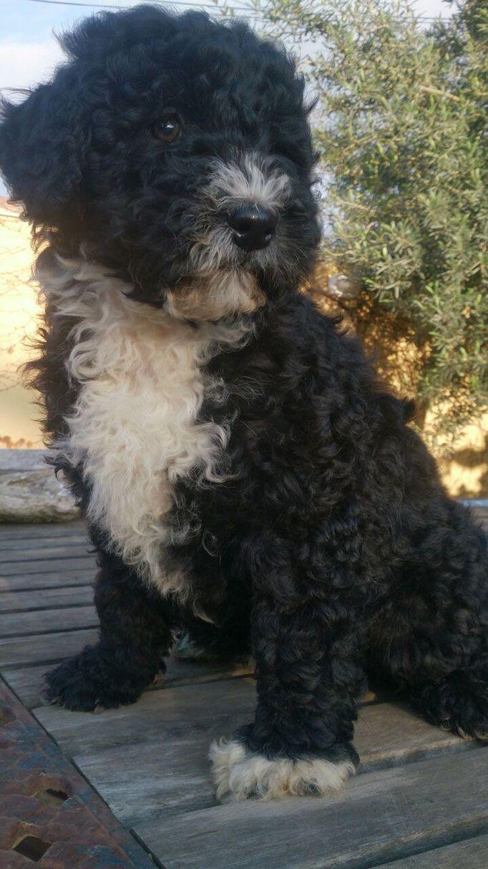 Unsere Hündin perronord, spanische Wasserhund Welpen