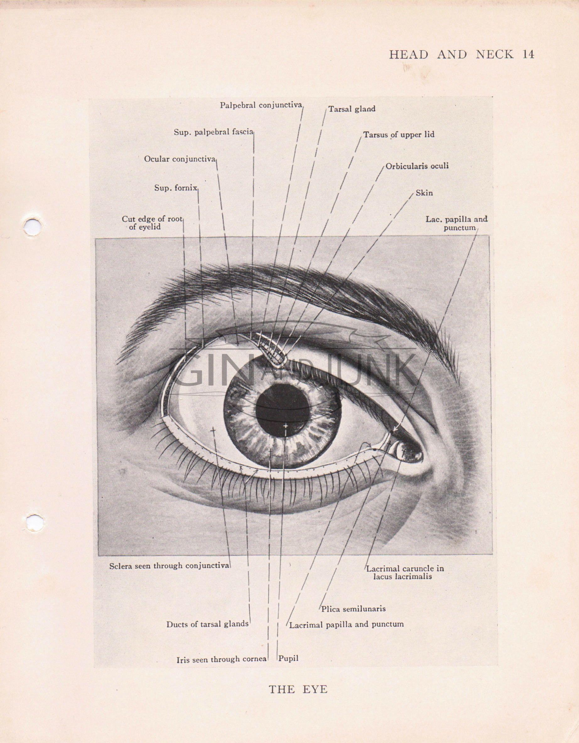 Pin by GinAndJunk on Anatomy Prints | Pinterest | Optician