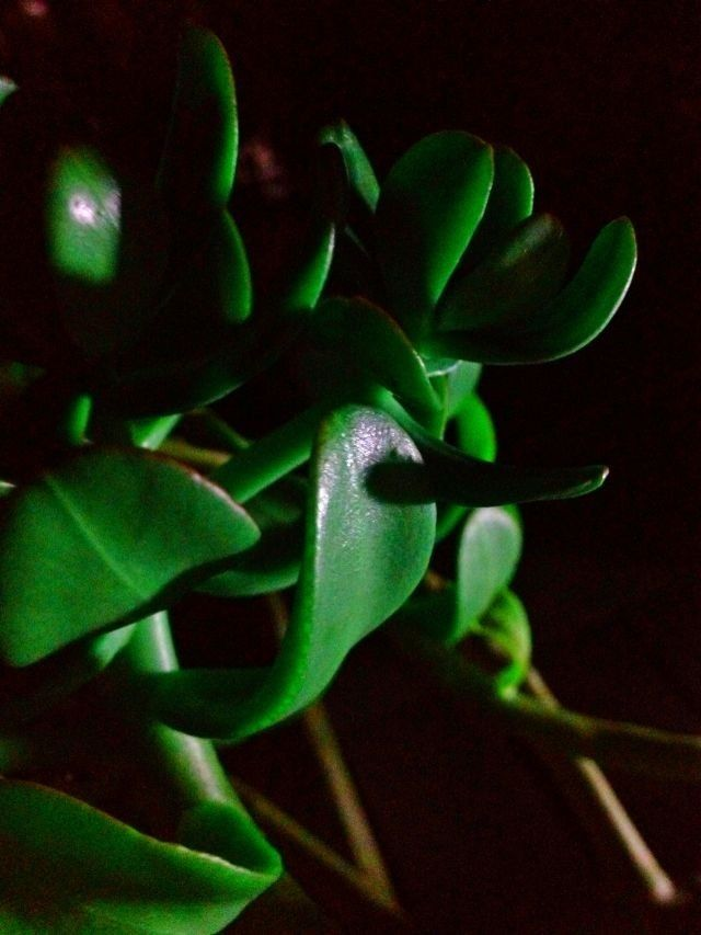 Night Jade By Annamarie Fella With Images Plant Leaves Plants Pictures