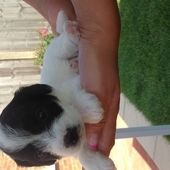 Jack Russell X Chihuahua Puppies For Sale In Polegate East Sussex
