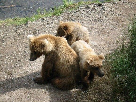Madre y dos oseznos Ursus arctos (Imagen: Wilipedia)