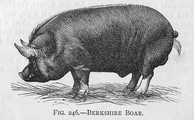 04 Berkshire Boar 1892 Berkshire Pigs Pig Illustration Farm Paintings