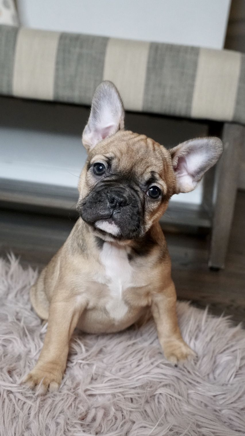 Fawn Frenchton Puppy Frenchton Dog Cute Animals Puppies