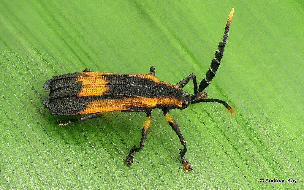 Beetle, Sceloenopla sp , Chrysomelidae, Cassidinae, Sceloenoplini