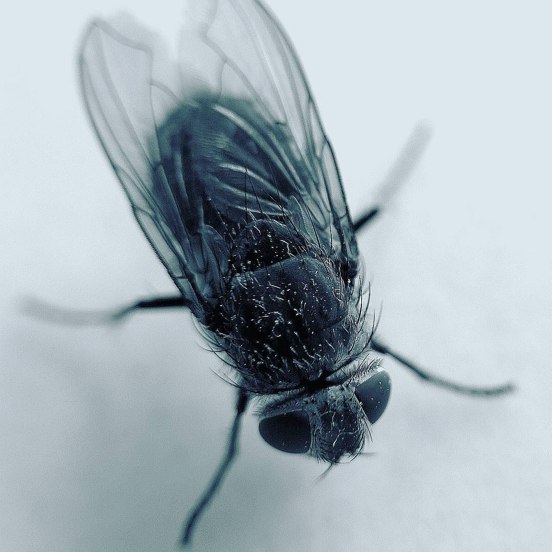 Fly Fliege Insect Animal Creature Huaweip10 Huawei P10 Cgfotoonline Hagen Nature Makro Macro Cool Artropodes Insetos Insetos Artropodes