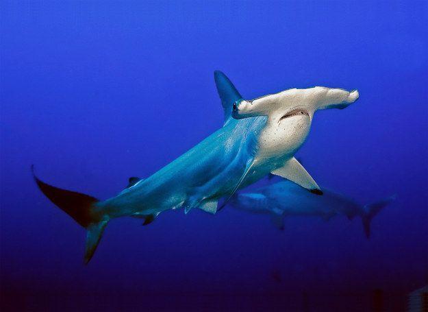 I got Hammerhead Shark! What Type Of Shark Are You?