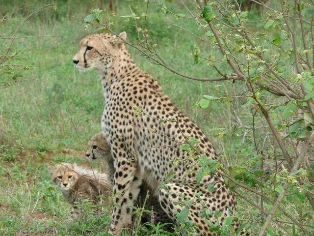Cheetah and her cubs - Kruger National Park