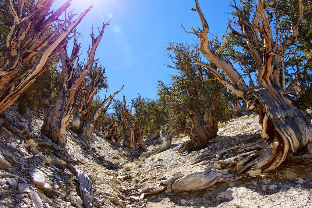 bristlecone oldest tree 11