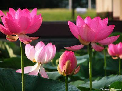Lotus Flower Hd Wallpaper Lotus Flower Pictures Lotus Flower Hd