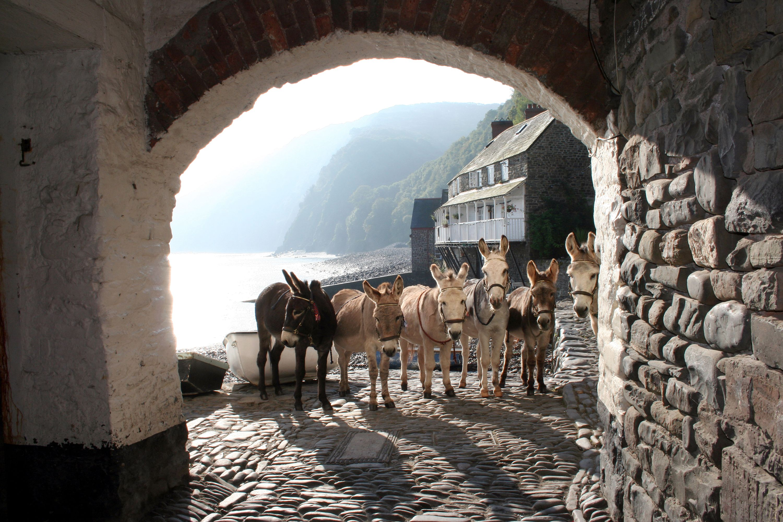 Clovelly donkeys in North Devon