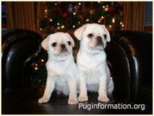 Precious White Pug Puppies Can T Wait To Get One White Pug