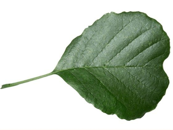 Alder Shiny Dark Green Leaves Are Racquet Shaped And