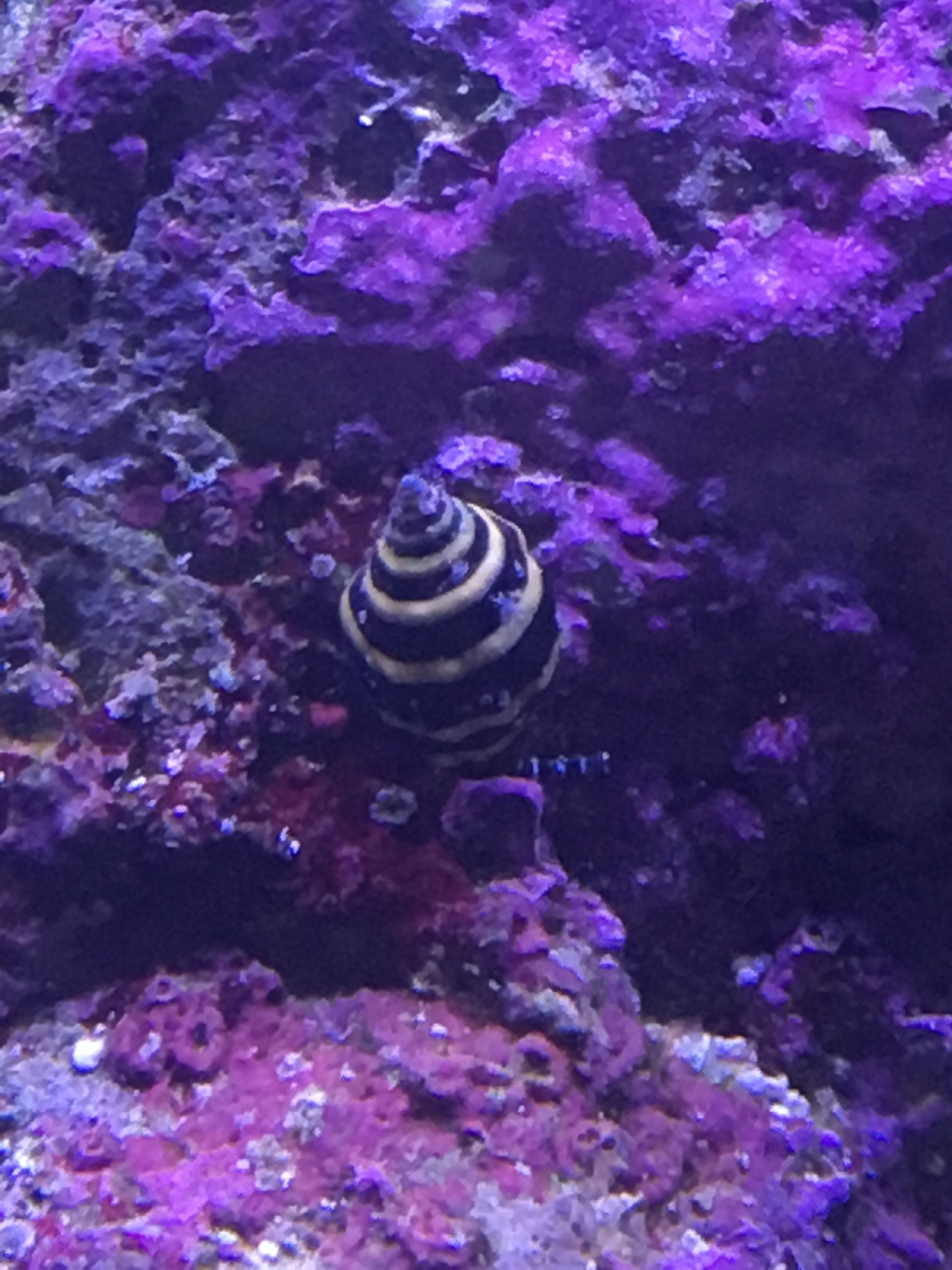 Bumble Bee Snail 08 06 2017 Reef Tank Frog And Toad Animals