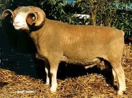 The Dorset Horn Sheep Is A Threatened Breed The Success Of The Polled Variety Of Dorset Sheep Has Almost Completely Obscured The Horned Variety C Cabras Ovejas