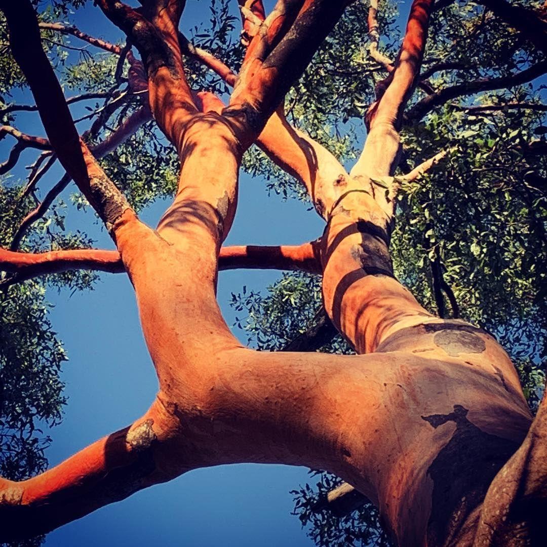 Eucalyptus Punctata Grey Gum Eucalyptuspunctata Greygum Koalafood Eucalyptus Eucalypt Gumtrees Gumtree Myr Australian Trees Myrtaceae Eucalyptus