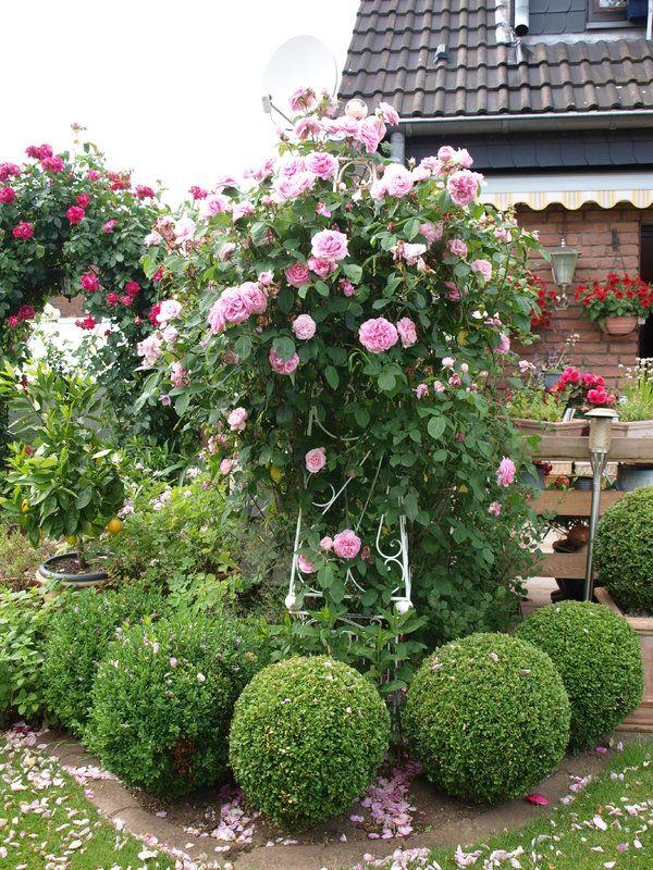 Rosen Und Clematis Clerotiker 2015 Seite 12 Rund Um Die Rose Mein Schoner Garten Online Garten Gartenrosen Clematis