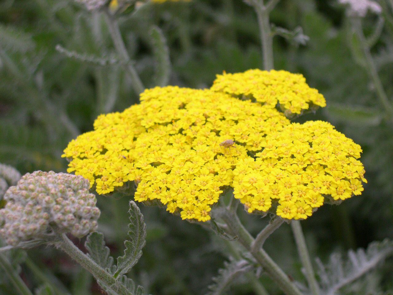 Achillea yellow perennial garden beautiful gardens