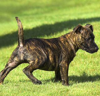 this brindle american staffordshire terrier things that i would