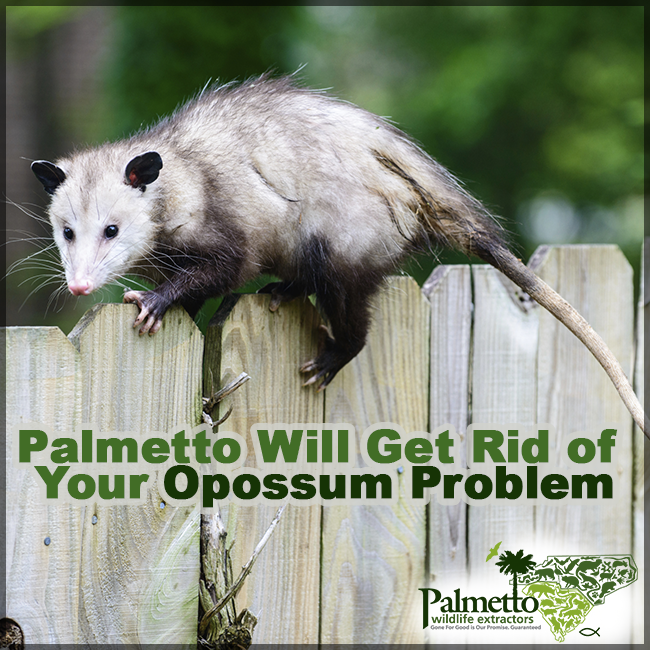 Opossums Can Cause Significant Damage They Will Tear Up Gardens Chew Through Parts Of Your House Dig Around Landscaping And The Opossum Cool Plants Wildlife