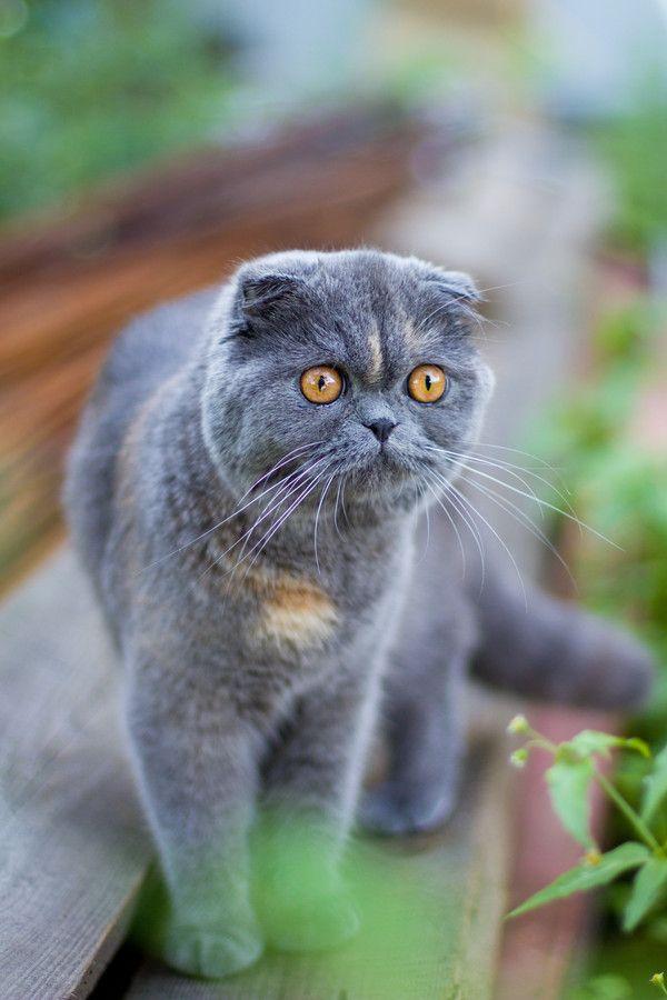 Pin By Bri Eberle On Puurfect Cats Cat Scottish Fold Scottish Fold Cat Breeds