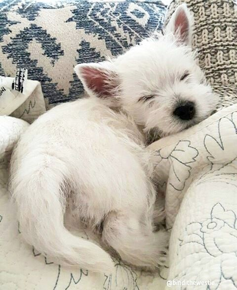 Pin By Meggan Walls On Westie Cute Animals Puppies Cute Puppies