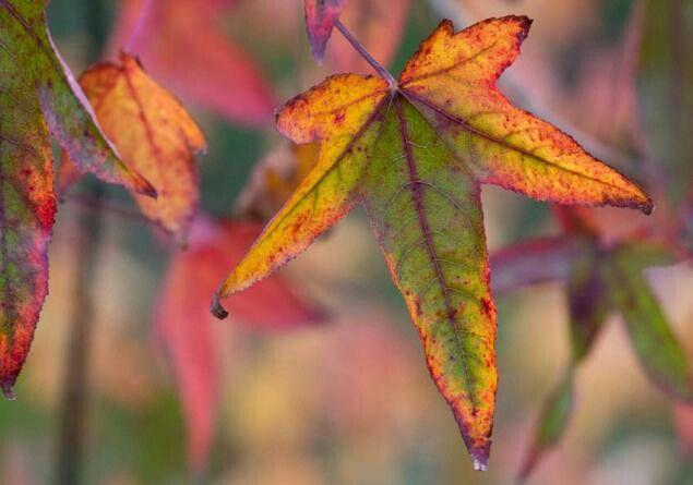 Gumtree leaves in fall