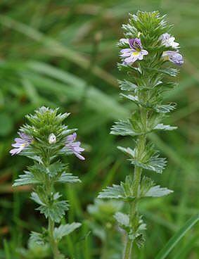 ØYENTRØST - Euphrasia officinalis