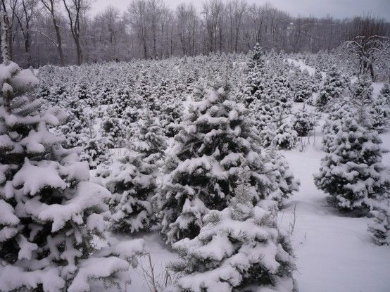 Darling S Tree Farm Christmas Tree Farm Tree Farm Pictures Tree Farms