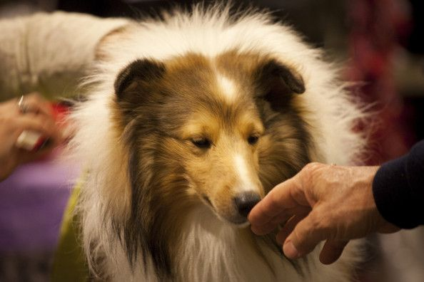Westminster Dog Show Live Stream Pictures Westminster Dog Show Top 10 Dog Breeds Dogs