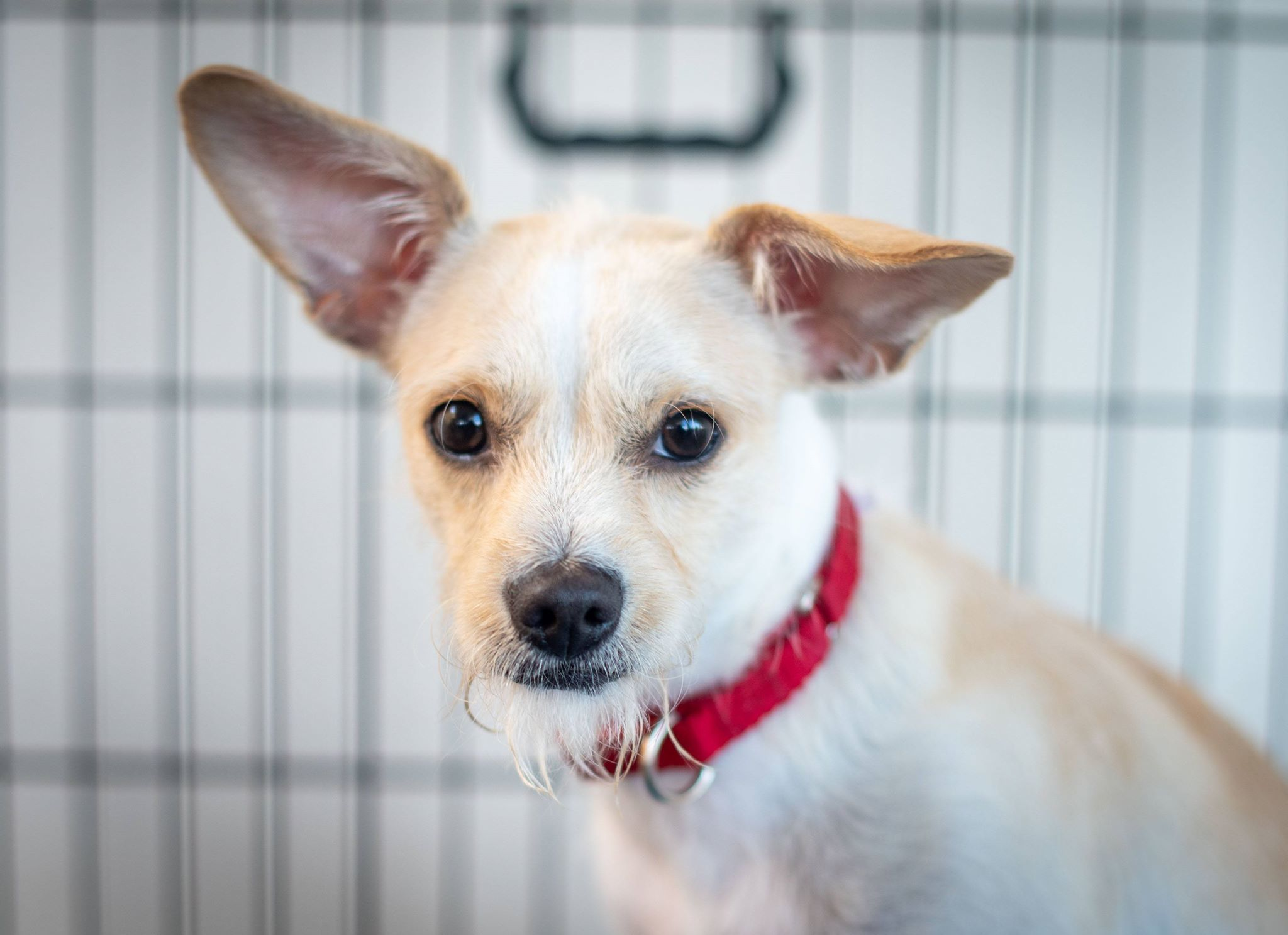 Adopt Sebastian On Dogs Schnauzer Mix Island Park