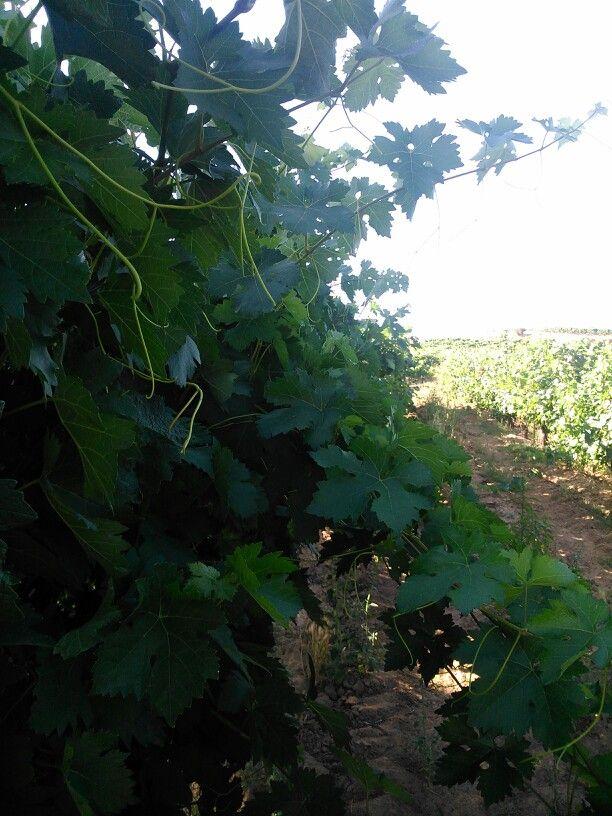 Vineyard, aranda. Burgos