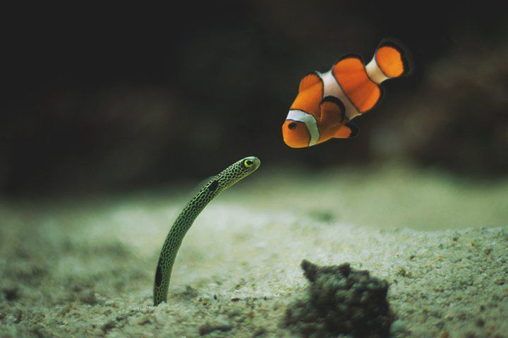 Have You Seen My Dad Garden Eel And Clownfish With Images