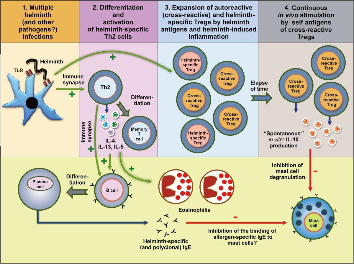 helminth infection autoimmune disease
