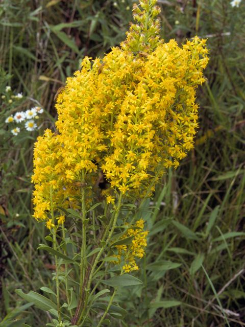 Planting Goldenrod In The Garden: Solidago Speciosa (Showy Goldenrod) #24654