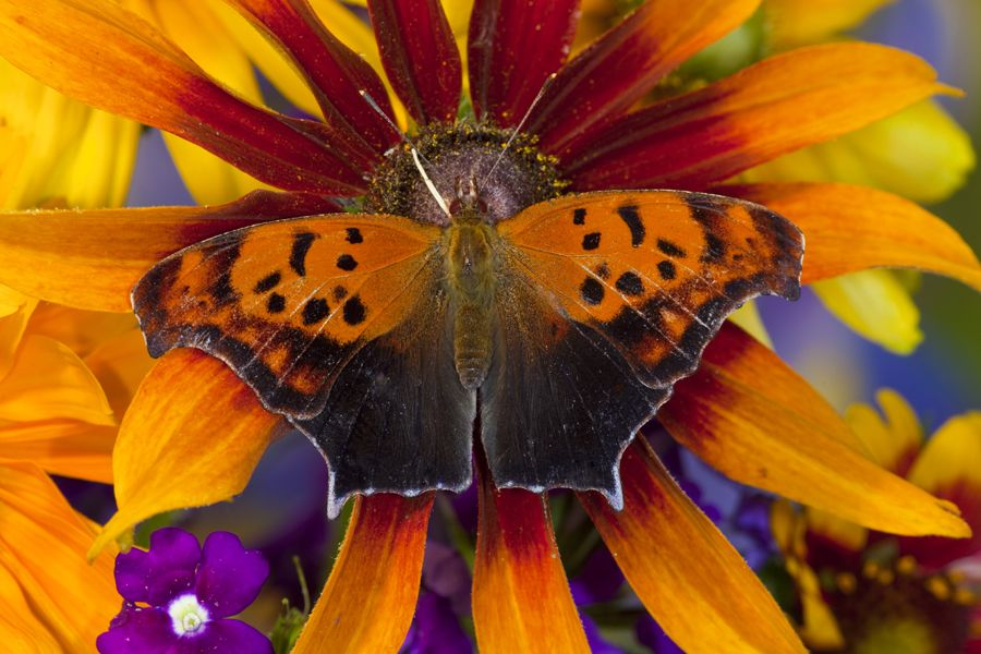Question Mark Butterfly on Dark-eyed Susan photography by:  Darrell Gulin