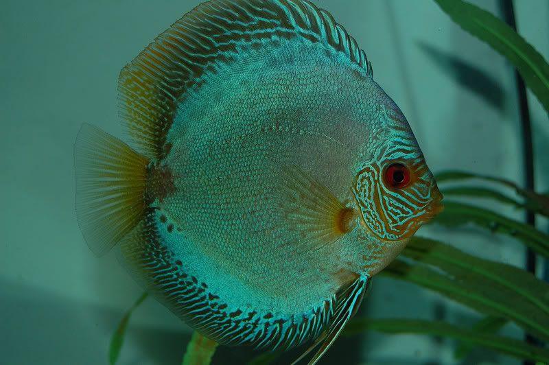 Flachen Snakeskin Discus Fish Beautiful Fish Aquarium Fish