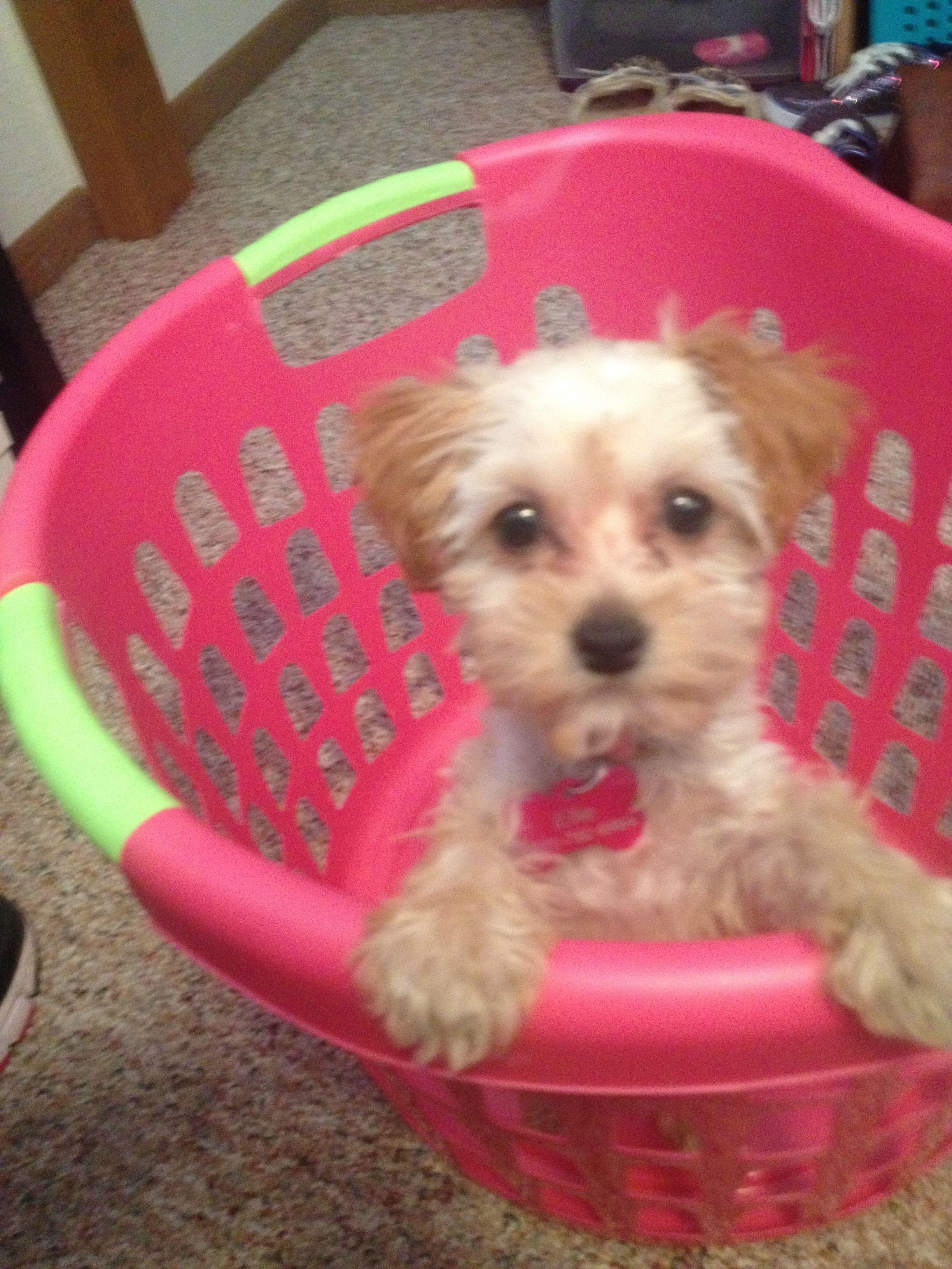 Elle My Sweet Morkie Poo Puppy Cute Little Animals Morkie