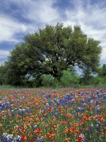Paintbrush And Bluebonnets And Live Oak Tree Marble Falls Texas Hill Country Usa Photographic Print Adam Jones Art Com In 2021 Country Landscaping Live Oak Trees Landscape