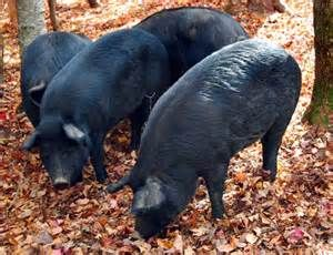 Mulefoot Pig Bing Images Meat Hogs Cattle Farming