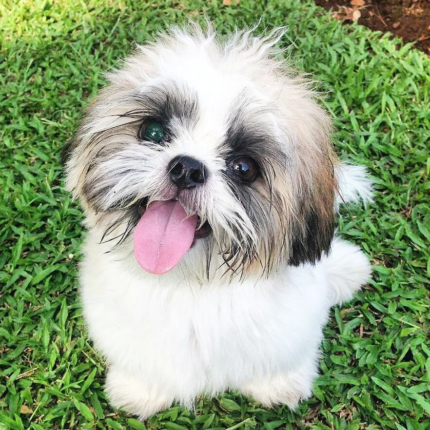 Follow us if you are Shih Tzu lover! To be featuredFollow usTag us #shihtzucorner Photo owner: @hellobisky by shihtzucorner